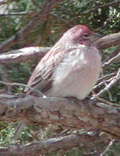 webcassinsfinch.jpg