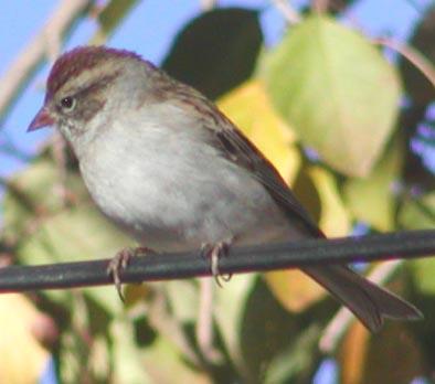 weblchippingsparrow.jpg
