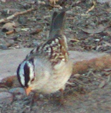 webwhitecrownedsparrow.jpg